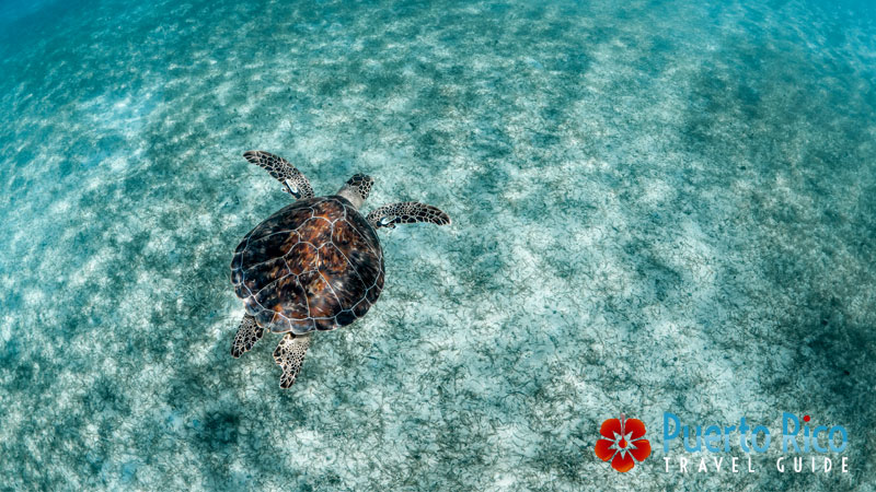 Swim with Turtles in Culebra - Things to Do in Puerto Rico